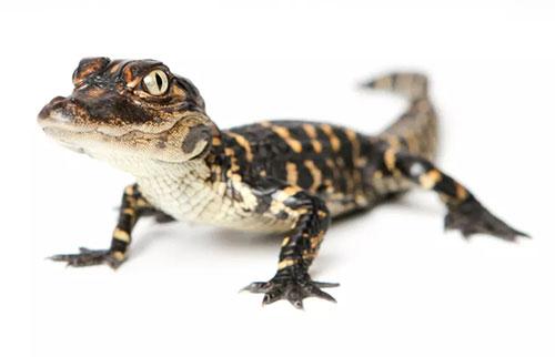 短吻鳄可以长出尾巴