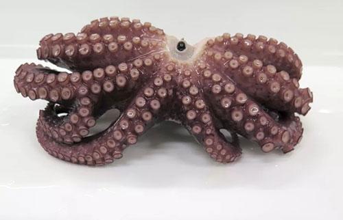 在日本海岸发现罕见的9臂章鱼