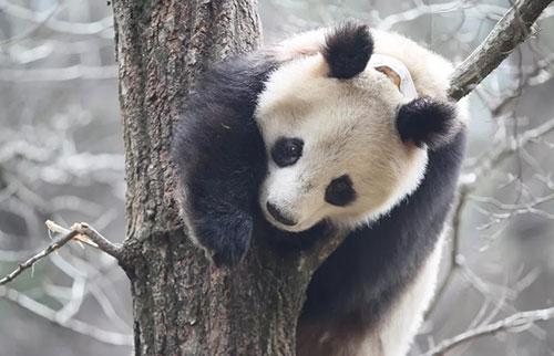 大熊猫举行冬季大便派对,在马粪中滚来滚去