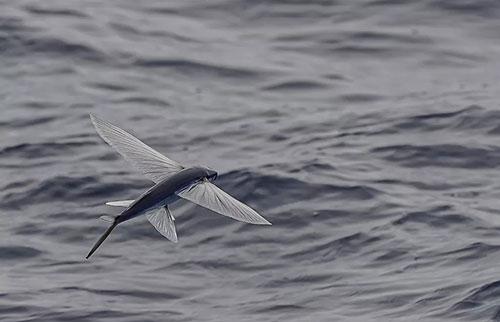 飞鱼:真正的鱼,但不是真正的飞