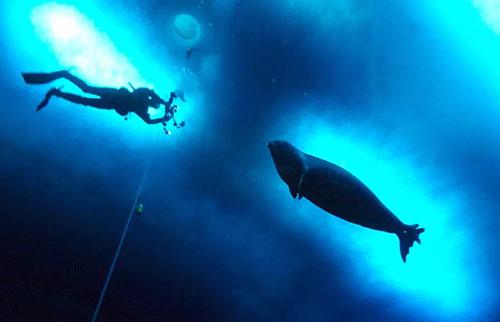 """海豹在水下互相发出""""星球大战""""的声音"""