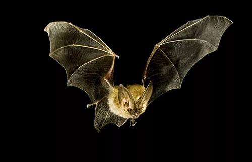 蝙蝠是夜晚的超级英雄