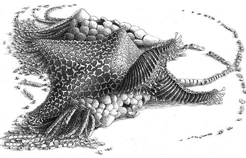 这个拥有4.8亿年历史的生物是所有海星的祖先