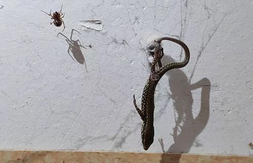 """科学家们如何知道蜘蛛用丝""""滑轮""""吊起大猎物"""