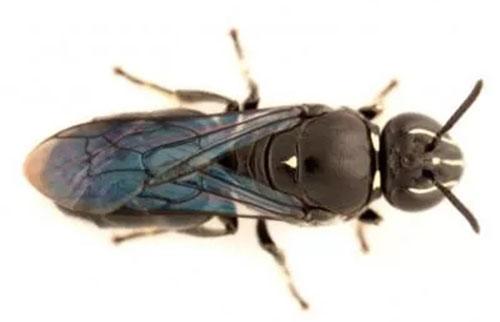 近一个世纪后重新发现的澳大利亚珍稀蜜蜂