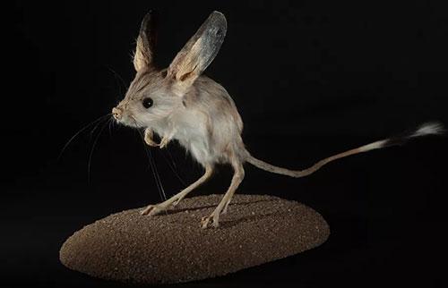 相对体型哪种动物的耳朵最大?