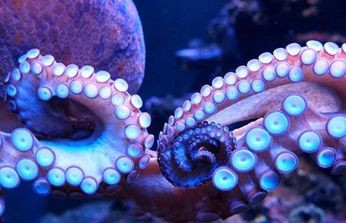 章鱼的双臂可以看到光线