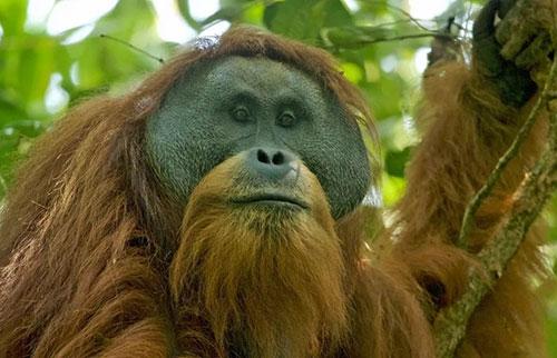 地球上稀有的大猿可能很快会灭绝