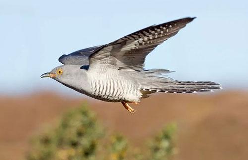 布谷鸟在5年内十次穿越撒哈拉沙漠