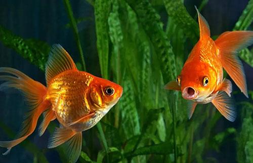 金鱼真的有3秒的记忆力吗?