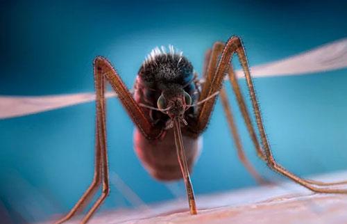为什么蚊子会在我们的耳朵里嗡嗡叫?