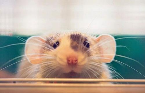 """小鼠研究表明肠道细菌可能与大脑""""交谈"""""""