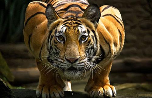 世界上最大的猫