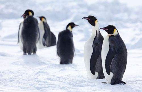 到本世纪末,融化的海冰可能会消灭 98% 的帝企鹅