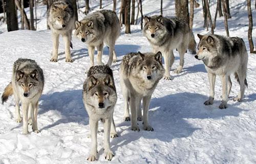 狼会摇尾巴吗?