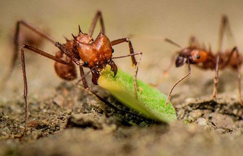 新研究发现这些素食蚂蚁的牙齿有牛排刀