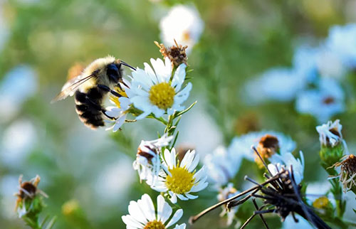 美国大黄蜂可能被正式宣布濒临灭绝