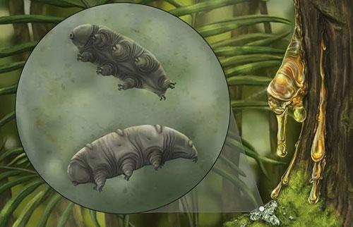 被困在琥珀中的缓步动物是一种前所未见的物种